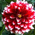 Red And White Dahlia by Norma Boeckler