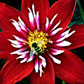 Red And White Flower With Bee by Anthony Jones