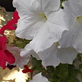 Red And White Petunias by Cat Sanchez