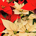 Red And White Poinsettias For Christmas by Jill Lang