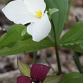 Red And White Trillium by Dawn Dasharion