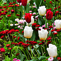 Red And White Tulips With Red And Pink English Daisies In Spring by Louise Heusinkveld