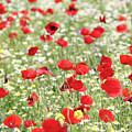 Red And White Wild Flowers Spring Scene by Goce Risteski