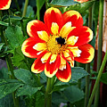 Red And Yellow Flower With Bee by Anthony Jones