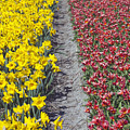 Red And Yellow Tulip Fields by Andre Goncalves