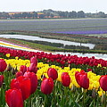 Red And Yellow Tulip Fields by Su Short
