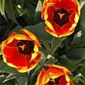 Red And Yellow Tulip Trio    Spring  Indiana by Rory Cubel