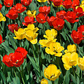 Red And Yellow Tulips  Naperville Illinois by Michael Bessler