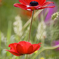 Red Anemone Coronaria In Nature by Ofer Zilberstein