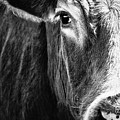 Red Angus In Black And White  by Debi Bishop