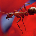 Red Ant Macro by Jeff Folger