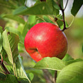 Red Apple On A Tree by Stefan Rotter