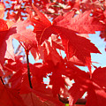 Red Autumn Leaves Art Prints Canvas Fall Leaves Baslee Troutman by Baslee Troutman