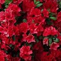 Red Azalea Blooms by Scenic Sights By Tara