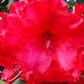 Red Azaleas Flowers 4 Red Azalea Garden Giclee Art Prints Baslee Troutman by Baslee Troutman