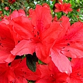 Red Azaleas by J M Farris Photography