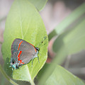 Red-banded Hairstreak Butterfly by Philip Rispin
