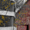Red Barn And Forsythia by Dylan Punke