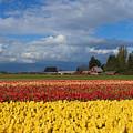 Red Barn Tulip Farm by Mike Dawson