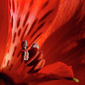 Red Beauty by Bill Morgenstern