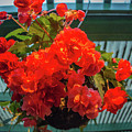 Red Begonia Hanging Planter At Dusk by Michael Bessler