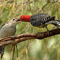 Red Bellied Woodpecker Feeding Young by Alan Lenk