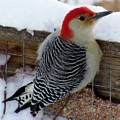 Red Bellied Woodpecker 5 by James Seitzinger