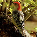 Red Bellied Woodpecker by Angie Sabo