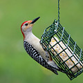 Red Bellied Woodpecker by Clifford Pugliese