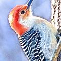 Red Bellied Woodpecker by Danielle Sigmon