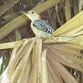 Red Bellied Woodpecker by David Zuhusky
