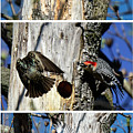 Red Bellied Woodpecker Harassed By A Starling by William Bitman