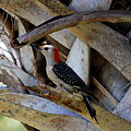 Red-bellied Woodpecker Hides On A Cabbage Palm by Barbara Bowen