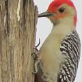 Red-bellied Woodpecker II by Zina Stromberg