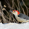 Red-bellied Woodpecker In The Snow by Angel Cher