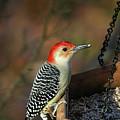 Red-bellied Woodpecker by Karol Livote