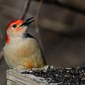 Red-bellied Woodpecker by Lois Bryan