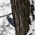 Red Bellied Woodpecker No 1 by Teresa Mucha