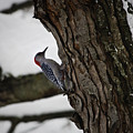 Red Bellied Woodpecker No 2 by Teresa Mucha