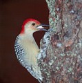 Red-bellied Woodpecker by Raju Alagawadi