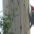 Red Bellied Woodpecker by Rockin Docks Deluxephotos