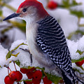 Red Bellied Woodpecker by Ron Jones