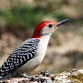 Red-bellied Woodpecker by Sheila Brown