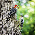 Red-bellied Woodpeckers by David Stone