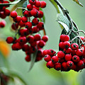 Red Berries by Clayton Bruster