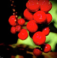 Red Berries by Corky Byer