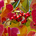 Red Berries Fall Colors by James Steele