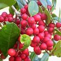 Red Berries by Gigi Croom
