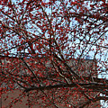Red Berries In Tree by Ruth Housley