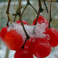 Red Berries In Winter by Juergen Roth